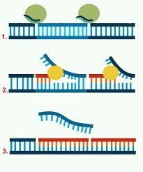 PCR es una técnica de biología molecular altamente sensible, específica y versátil